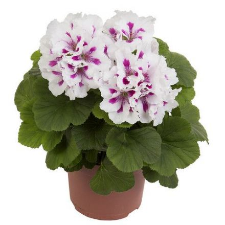 Geranium Elegance Royalty White